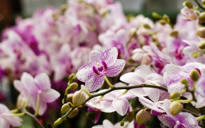Tamiami International Orchid Festival to be held in October
